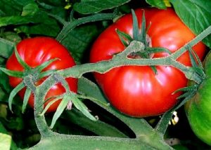 plantar tomate 300x214 Cómo plantar tomates