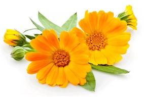 calendula para estar mas bella copia Seis plantas para estar bella