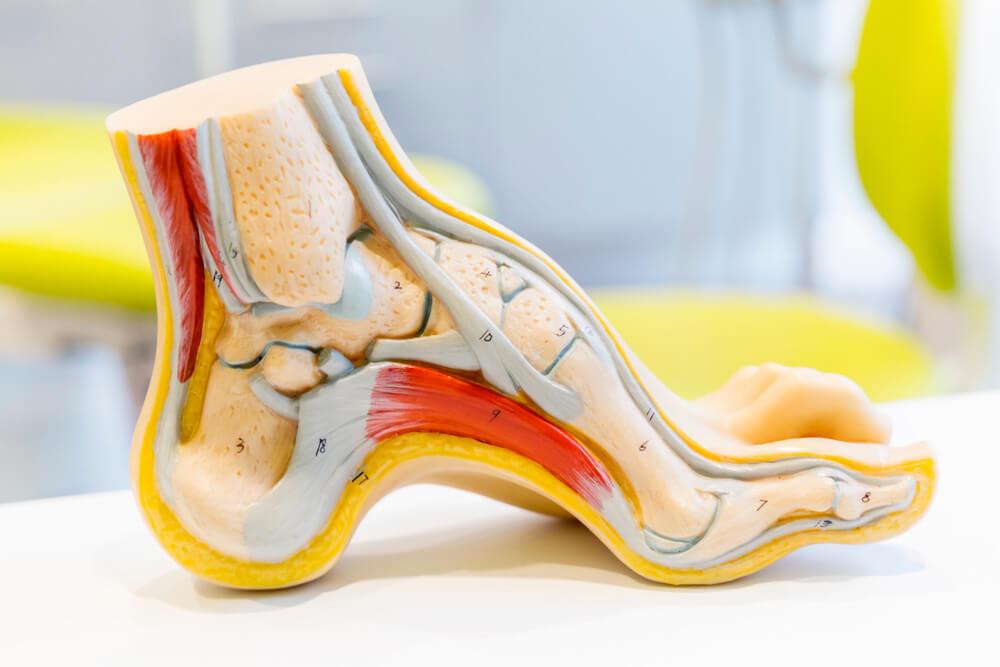 Anatomía del pie y tobillo Consejos para prevenir lesiones de pie y tobillo