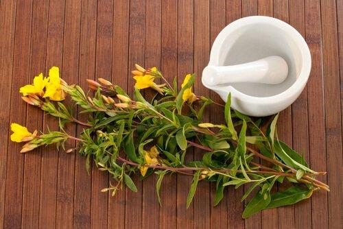 Planta del aceite de onagra 4 beneficios del aceite de onagra para la piel y el cabello