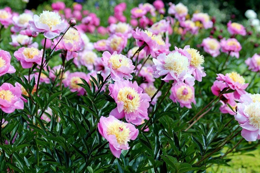 cómo plantar peonias en el jardín 1024x682 Consejos para cultivar peonias en el hogar