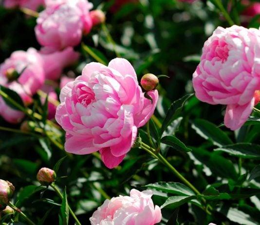 los mejores consejos para cultivar peonias en el jardín