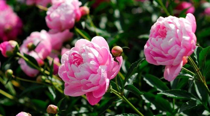 consejos para plantar peonias en tu jardín 696x385 Home