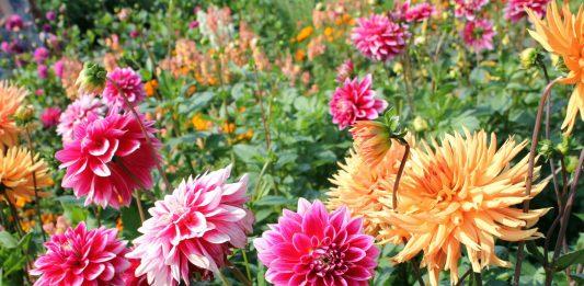 plantas de verano dahlia 533x261 Home
